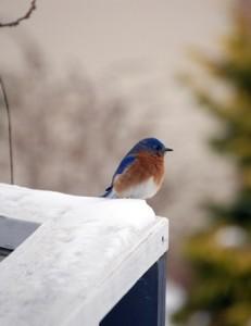 JustLoveWalking-Winterscape-Blue-Bird