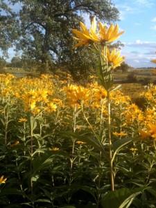JustLoveWalking-yellow-daisies